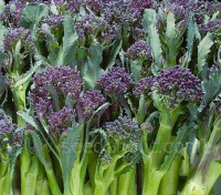 'Red Spear' is a heavy cropping purple sprouting broccoli, producing excellent coloured spears from February and March.