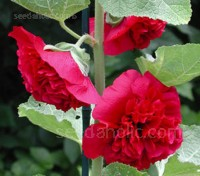 Alcea rosea 'Chater's Double' give a wonderful mixed colour range - White, yellow, crimson, pink, purple, rose, and red.