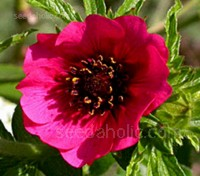 Potentilla 'Ron McBeath' is a beautiful new semi-dwarf cultivar that wears a coat of carmine-red, saucer-shaped single blooms.