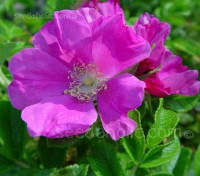 Rosa rugosa 'Japanese Rose'