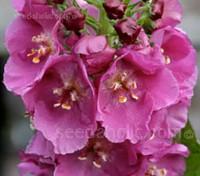 'Rosetta' produces elegant spires of intense dark pink blooms which are always much admired.