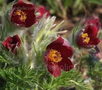 Pulsatilla vulgaris 'Rote Glocke'
