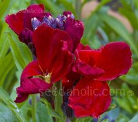 """Ruby Gem"" is a wonderful shade of rich ruby-violet and is often known by the synonym ""Purple Queen""."
