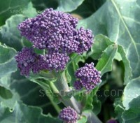 Broccoli 'Extra Early Purple Sprouting Rudolph'