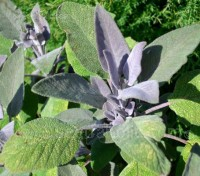 Sage is suitable for herb gardens, container gardening, perennial gardens, and cottage gardens.