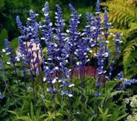Salvia farinacea 'Fairy Queen' is an attractive new variety that bears multiple spikes of bicolour blue and white flowers