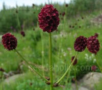 Sanguisorba officinalis is a an old-world herb that is currently enjoying a resurgence in popularity.