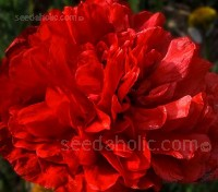 Papaver paeoniflorum 'Scarlet'