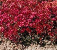 Sedum spurium coccineum is the most robust sedum for creeping spread and for floriferousness.