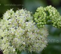 Sedum telephium ssp. maximum is quite common in gardens in its multitude of forms or as a parent of a cultivar.