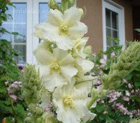 Verbascum 'Snow Maiden' is a gorgeous mullein that blooms with masses of pure white flowers, each with delicate yellow filaments