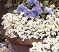 Plant Arabis under spring-blooming bulbs with Narcissus, Primula veris or Viola.