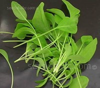 French or Buckler-leaf sorrel has much smaller leaves and a slightly milder flavour than the broad leaf form.