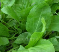 Broad Leaf Sorrel is a delightful potherb and one of nature's most special greens.