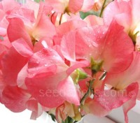 Princess Elizabeth has large fluttery salmon reddish-pink on a gorgeous creamy background.