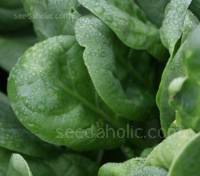 Spinach 'F1 Clarinet' completely resistant to all races of spinach mildew and is very strongly resistant to bolting.