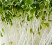 Microleaf or Sprouting: White Mustard