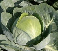 Cabbage F1 Stonehead produces densely packed medium sized, green round heads.