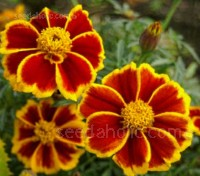 Tagetes Red Marietta grows 20 to 25cm tall with bright red blooms edged with gold.