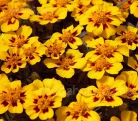 Tagetes or French Marigolds are hardy and no-fuss annuals, easy to grow and rewards generously with non-stop flowering.