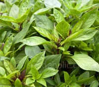 Thai Basil is a cultivar of sweet basil commonly used in the cuisines of Thailand, Vietnam, Cambodia, and Laos.
