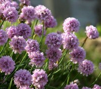 "Armeria maritima, our well-known little ""Thrift"", which grows so happily on cliffs and seashores is also a very popular garden flower."