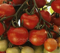 Tomato Ailsa Craig is still considered to be one of the finest varieties.