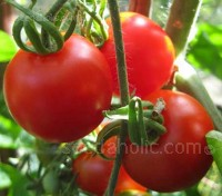 Famously early, Bloody Butcher it is often the first tomato variety to ripen in and out of the greenhouse.
