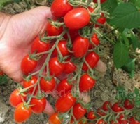 A mini-plum or grape type tomato Tomato 'F1 Modus' produces small oval shaped fruits with a deliciously sweet, full bodied flavour.