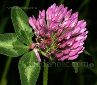 Green Manure 'Red Clover'