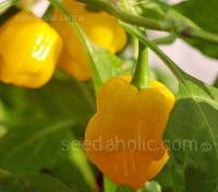 Trinidad Perfume chili pepper is a remarkable variety, incredibly flavourful and aromatic, without the heat, but with the authentic Habanero flavour.