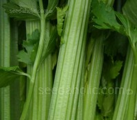 Celery 'Tall Utah' has a compact habit with tightly folded hearts, and produce broad, moderately ribbed, stringless, smooth stalks.