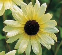 With clusters of delicate pale creamy-yellow flowers with dark chocolate centres 'Vanilla Ice' is one of the prettiest sunflowers varieties available.