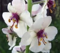 Verbascum blattaria 'White blush'