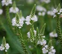 Verbena hastata 'White Spires' is one of the choicest species available.