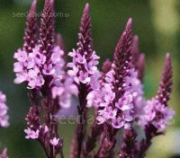 Verbena 'Pink Spires' flowers with multi-branching candelabra-like flower heads.