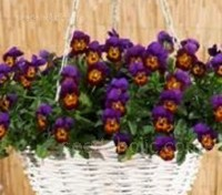 Viola cornuta 'F1 Tumbola Bronze-Purple'