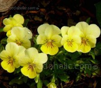 This particularly fine Viola variety produces pure, golden-yellow flowers in abundance.