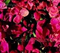 Erysimum cheiri, Cheiranthus Cheiri 'Giant Pink'
