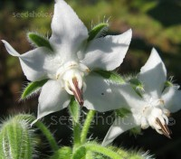 Not so well known is the beautiful white form of Borage with pure white flowers.