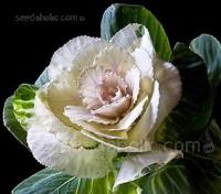 Brassica, Ornamental 'F1 Pigeon White'