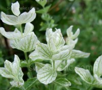 Salvia viridis 'White Swan' is an easy and vigorous hardy annual that produces spires of flowers, that are encased in very showy, clearly-veined, white bracts.