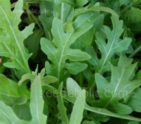Reliable, vigorous and uniform Rocket 'Torino' produces deeply lobed leaves leaves continuously from spring through to autumn.