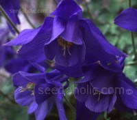 Originating from the mountains of Japan, Aquilegia yabeana carries long spurred, nodding flowers of the deepest inky blue.