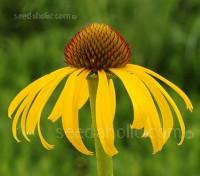 Echinacea paradoxa
