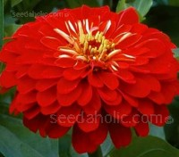Zinnia elegans 'Scarlet Flame' feature large 10 to 12cm scarlet-red blooms.
