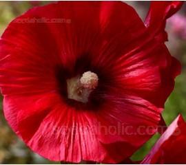 Alcea ficifolia 'Henry Vlll' Red