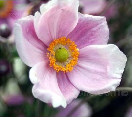 Anemone hupehensis var. japonica 'Japanese Anemone'