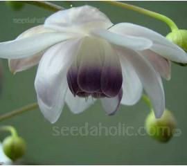Anemonopsis macrophylla