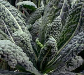 Kale, Cavolo Nero 'Nero de Toscana' Organic